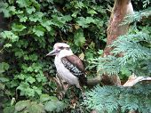 image of blue winged kookaburra  - Laughing Kookaburra - JPG