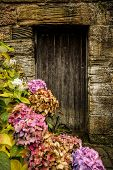 Antique wooden door and pink hortensia