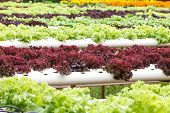 image of hydroponics  - Hydroponic vegetable is planted in a garden - JPG