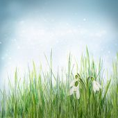 Spring Floral Background With Snowdrop Flowers