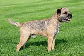 image of border terrier  - The typical Border Terrier in a garden - JPG