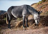 stock photo of headstrong  - Large gray donkey eating straw on a background of nature - JPG