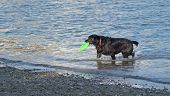 foto of frisbee  - A black dog with a green frisbee in its mouth - JPG