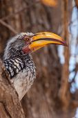 Southern Yellow-billed Hornbill on the tree
