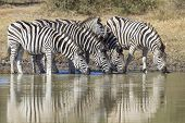 Burchell's Zebra Or Plains Zebra Drinking, South Africa