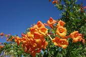 picture of honeysuckle  - Flowering Cape Honeysuckle shrub on blue sky background - JPG