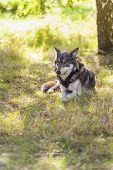 stock photo of north american gray wolf  - North American Gray Wolf - JPG