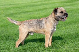 stock photo of border terrier  - The typical Border Terrier in a garden - JPG