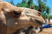 Close up of camel head