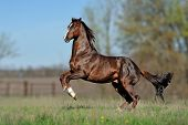 stock photo of mustang  - English thoroughbred horse jumping on the beautiful background of the field - JPG