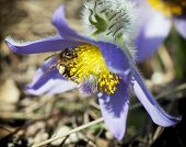 Little Bee Pollinate Pulsatilla Flower