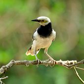 Black-collared Starling Bird (sturnus Nigricollis) Standing On The Branch