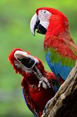 Green-winged Macaw, Red Green Blue Macaw, Green Wing Macaw, Two Of Red Macaws In The Frame