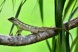 stock photo of lizards  - Green crested lizard black face lizard tree lizardBoulenger Long headed Lizard Pseudocalotes microlepis masked spiny lizard - JPG