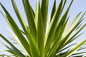 stock photo of mezcal  - close up of an agave with blue sky - JPG