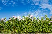 picture of ipomoea  - Ipomoea carnea or morning glory flower on tree against blue sky