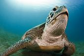 picture of sea-turtles  - green sea turtle resting on the bottom - JPG