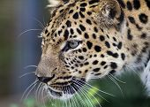 stock photo of leopard  - close up of an Amur Leopard staring intently at his lunch - JPG