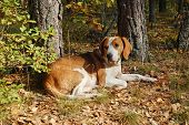 foto of foxhound  - Dog hound resting on fallen leaves in the autumn forest - JPG