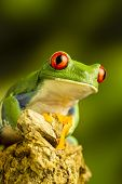 picture of red eye tree frog  - Red - JPG