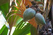 image of coco  - Coco de Mer  - JPG