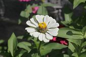 picture of zinnias  - Zinnia flower, Zinnia flower in full bloom.