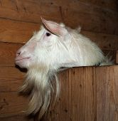stock photo of saanen  - Saanen nice beautiful lovelu white goat in barn - JPG