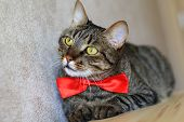 picture of yellow tabby  - tabby cat with yellow eyes wearing red bow tie  - JPG