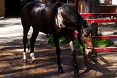 image of brown horse  - Brown stallion Portrait of a sports brown horse Riding Thoroughbred - JPG