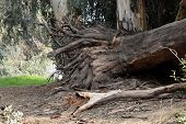 image of eucalyptus trees  - Dry tree roots eucalyptus in the park. ** Note: Soft Focus at 100%, best at smaller sizes - JPG