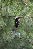 picture of pinus  - Cone of a blue pine  - JPG
