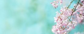 picture of green-blue  - Spring shidarezakura  - JPG