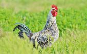picture of roosters  - Rooster in green field isolated, looking away