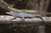pic of swamps  - Alligator lying on piece of wood in the middle of Louisiana swamps - JPG