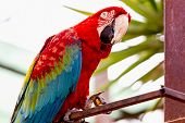 image of cockatoos  - Red Macaw or Ara cockatoos parrot siting on metal perch - JPG