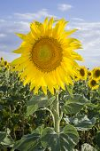 pic of sunflower  - Sunflower Species Helianthus annuus crop landscape Andalusia. Southern Spain. The sunflower is an annual plant grown as a popular crop for its edible oil and edible fruits.