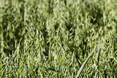 foto of spike  - the photo which shows a spike oats with inflorescences - JPG