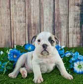 image of glory  - Cute little Bulldog puppy sitting outdoors in the grass with blue Morning Glory flowers around her with copy space - JPG