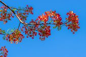 image of royal botanic gardens  - Royal Poinciana Flamboyant Flame Tree in the blue sky - JPG