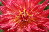 foto of rain-drop  - Beautiful flower dahlia with drops of rain - JPG