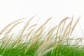 picture of windy  - Fresh green grass in beautiful meadow when windy attack - JPG