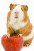 foto of guinea pig  - guinea pig  and red apple isolated on white - JPG