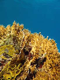 stock photo of fire coral  - coral reef with great yellow fire coral at the bottom of tropical sea on a background of blue water - JPG
