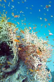 image of fire coral  - Fire Coral And Fishes Athias In Tropical Sea - JPG