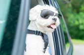 Small dog maltese in a car with open window. Dog wears a special dog car harness to keep him safe wh poster