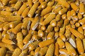 picture of zea  - Many fresh organic ripe corns  - JPG