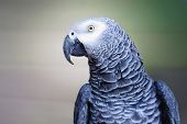 The Grey Parrot Psittacus Erithacus, Also Known As The Congo Grey Parrot Or African Grey Parrot, Is  poster