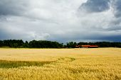 picture of gleaning  - Sunlit field of barley and a farm with a thunderstorm cloud behind - JPG