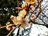Blossom Branch Close-up. Spring Weather, Sunny Sky, Flowering Trees In The Village. Beautiful Blosso poster