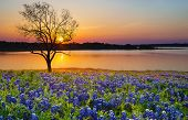 Beautiful Texas Spring Sunset Over A Lake. Blooming Bluebonnet Wildflower Field And A Lonely Tree Si poster